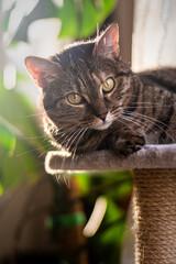 Katze ruht sich auf Ihrem Kratzbaum aus