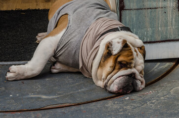 Door stickers Chicken Dog of breed shar pei takes a nap with clothes on