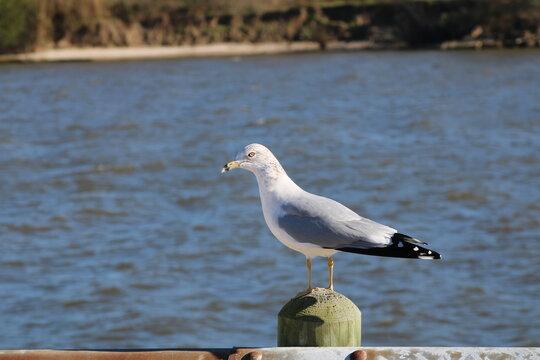 seagull on the seawall, bird, seagull, sea, gull, water, animal, beach, nature, wildlife, ocean, birds, white, beak, seagulls, shore, lake, blue, wild, coast, gulls, feathers, feather