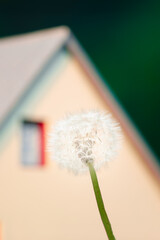 dandelion flower against house roof background