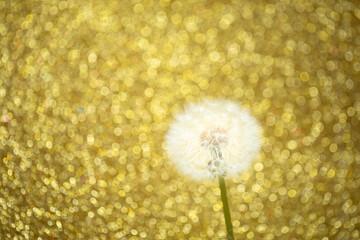 dandelion flower on golden bokeh background