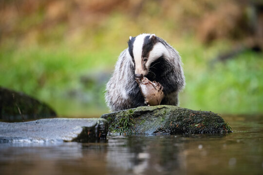 European badger, Meles meles is standing in the shoreline of a pond in the golden light of sunset. The badger is mirroring in the golden surface of the pond.