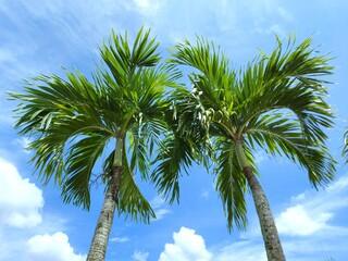 Photo sur Plexiglas Palmier Manila palm or christmas palm tree in the garden.