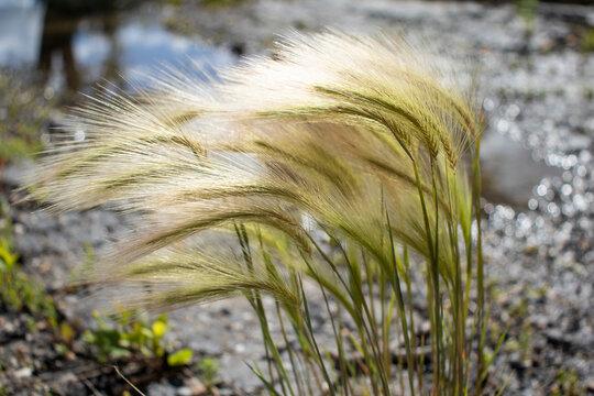 Lone Foxtails Plant
