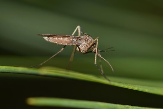 Mosquito resting on a green leaf during the night hours in Houston, TX. They are most prolific during the warmer months and can carry the West Nile virus.