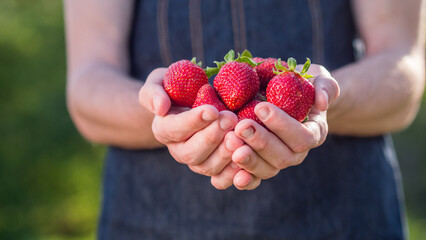 Ripe juicy strawberries in the hands of a farmer