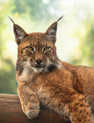 Portrait of a Eurasian lynx that lies on a log.