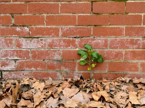 Small tree sapling growing in a crack in the alley next to a red brick wall and surrounded by fallen oak leaves
