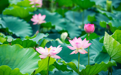 Wall Murals Lotus flower Beauty pink lotus or water lily is in closeup in lotus pond
