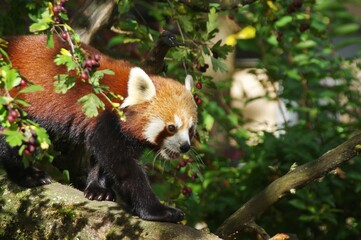 Aluminium Prints Panda Closeup shot of a red panda on a tree branch under the sunshine
