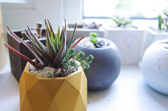 green succulent in concrete pot. Horizontal banner..cement original pot with house plant. haworthia in polygonal pot