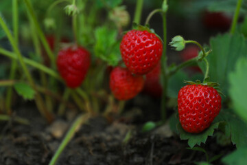 Strawberry plant with ripening berries growing in field, closeup