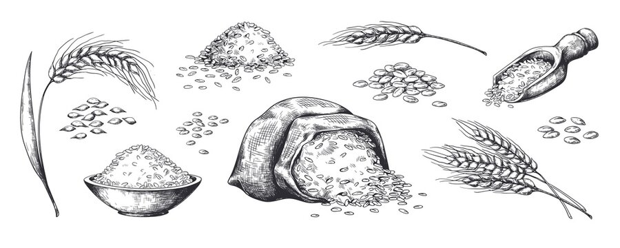 Hand drawn wheat. Grains plants in bag and cereal in bowl, rye barley and wheat ear spikes. Vector sketch illustration for food package design template, engraving food