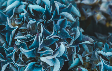 Foto op Canvas Hydrangea Blooming blue hydrangea close-up. Eeconnecting with nature. Cottagecore aesthetics. Vertical format