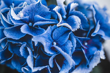 Foto op Plexiglas Hydrangea Blooming blue hydrangea close-up. Eeconnecting with nature. Cottagecore aesthetics. Plant photograph