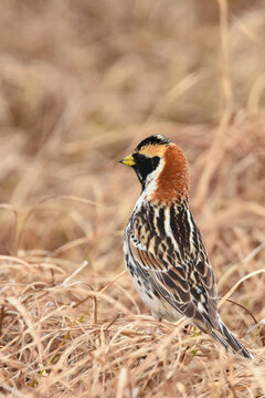 A male Lapland Longspur hops on the Alaskan tundra during a long summer day.