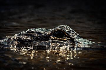 Fotobehang Krokodil alligator swimming in small river