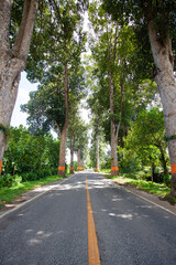 Country road in thailand and many big tree near the road. Older road and life style of people in Chiangmai of Thailand. Sarapee district.
