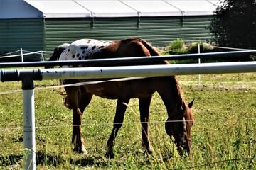 Koń  w zagrodzie - fototapety na wymiar