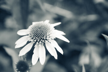 Echinacea flower blooming in the garden. Selective focus. Shallow depth of field.