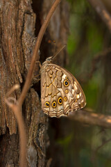 Closeup beautiful butterflies ( Lattice Brown) sitting on the tree.