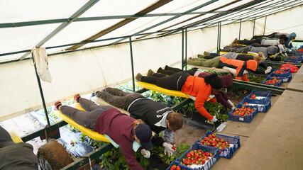 Seasonal workers pick up strawberries at Ramsi Agro farm in Jarvekula