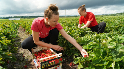 Estonian students Silvia Pertens and Anna Stina Reinas pick up strawberries at Ramsi Agro farm in Jarvekula