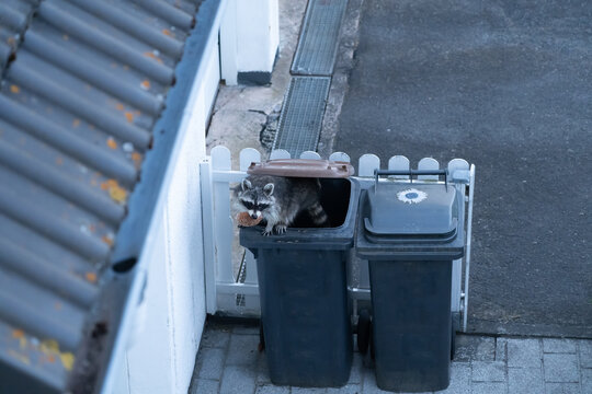 Raccoon climbs out of a garbage can with an old piece of bread