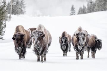 Printed kitchen splashbacks Bison American Bison family group in winter