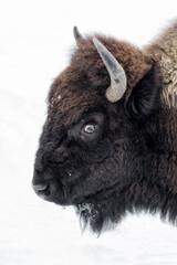 Fototapeta American Bison female portrait