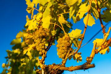 wine region Wachau at wine harvest time in Austria