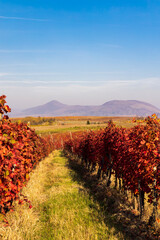 autumn vineyard near Eger, Northern Hungary