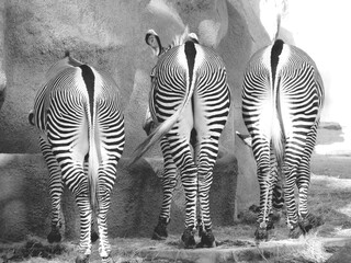 Zebra Standing Outdoors