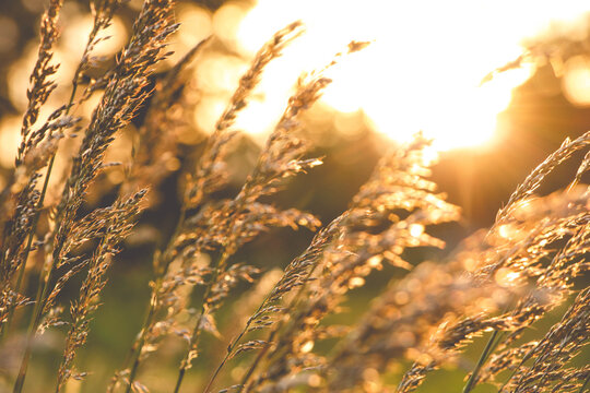 Close-up Of Wheat Growing On Field At Sunset