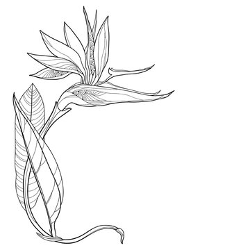 Corner bouquet of outline tropical Strelitzia reginae or bird of paradise flower and ornate leaf in black isolated on white background.