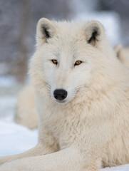 Portrait of a polar wolf on a grey background