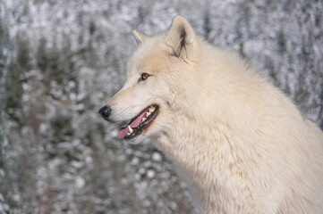 Portrait of a polar wolf on a background of snowy forest.