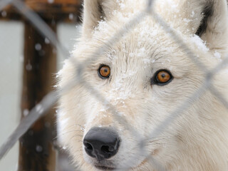 The Arctic Wolf at the zoo is carefully watching visitors.