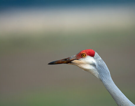 Side view of sand hill crane neck and head