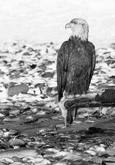 Black and white Bald Eagle resting on driftwood to avoid frozen rocky beach.psd
