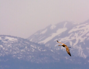 Solo Sandhill Crane glides in front of snowy mountain side