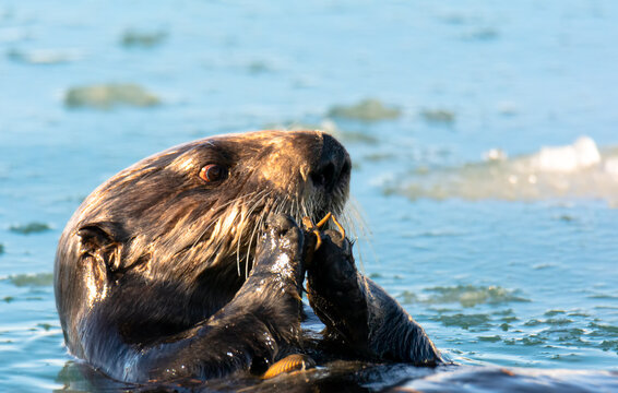Sea otter with blood shot eye eating a crab