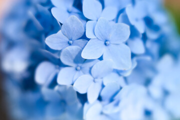 Printed roller blinds Hydrangea Blue airy hydrangea flowers in bloom
