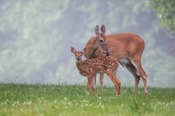 Foto op Plexiglas Hert White-tailed deer doe and fawn on a summer morning
