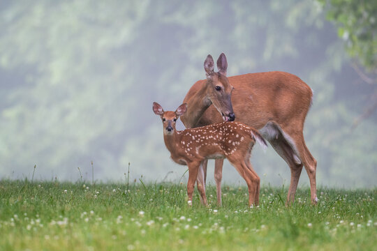 White-tailed deer doe and fawn on a summer morning