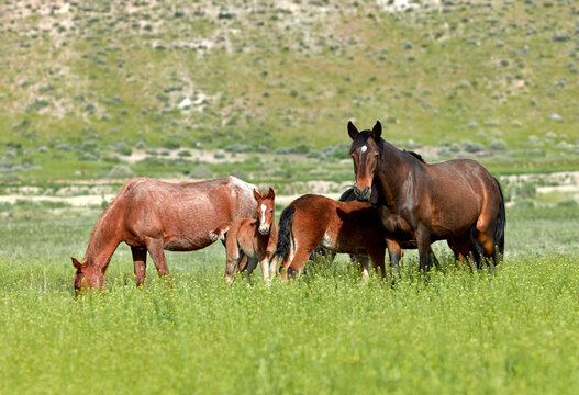 Family On Nevada Wild Mustang Horses In A Lush Green Grassy Field In Northern Nevada Near Reno.