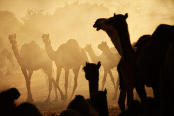 Photo sur Plexiglas Chameau A herd of camels at Pushkar Camel Fair (Pushkar Mela)
