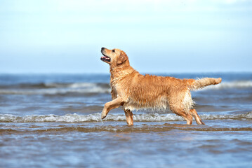 golden retriever dog walking on the beach in summer