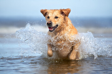 happy golden retriever dog jumping in water
