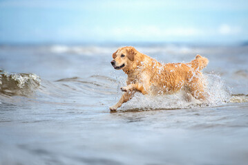 happy wet dog running in the sea